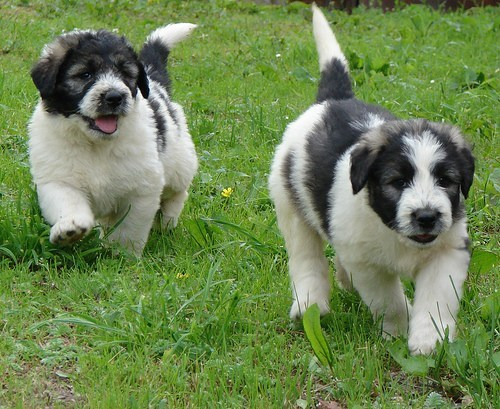 carpathian mountains dogs puppues romania romanian mioritic shepherd