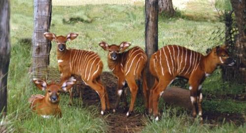 antelope bongo deer disguise kenya stripes whatsit wednesday