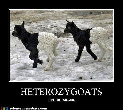 allele,goats,heterozygotes,pun
