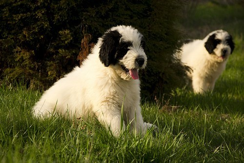 dogs Fluffy goggie ob teh week mioritic sheepdog romanian mioritic - 6616637440