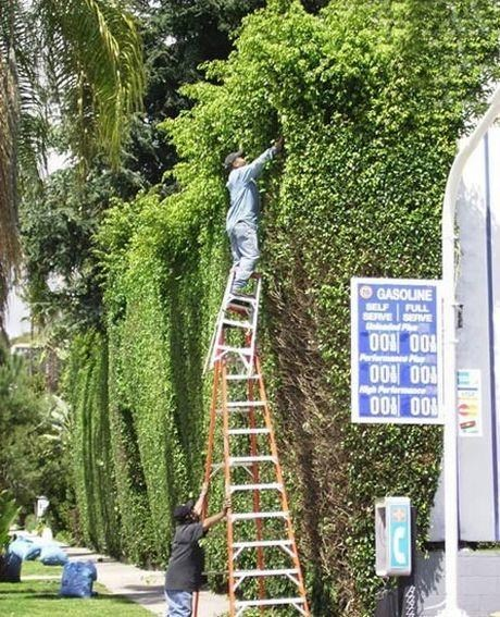 double ladder,hedge trimming,hedges,ladder,safety first,unsafe