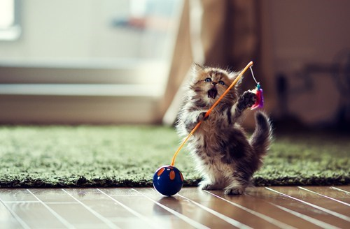 Cats,cyoot kitteh of teh day,kitten,mouth open,playing,scared,surprised,toys