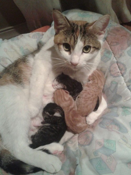 Cats,cyoot kitteh of teh day,family,kitten,moms,newborns,nursing