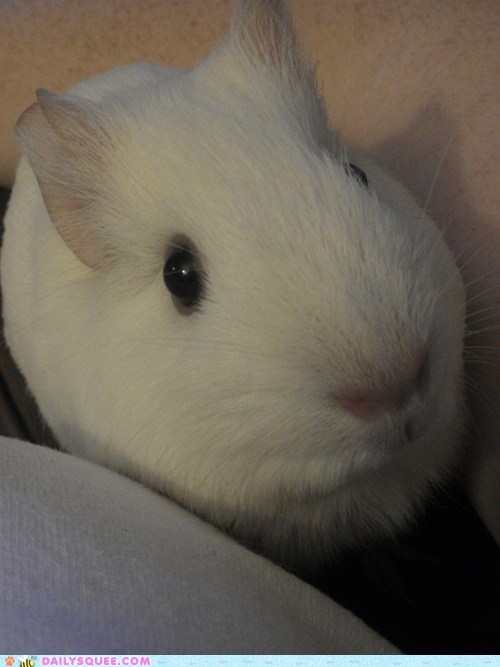 attention guinea pig pet reader squee white - 6618675968