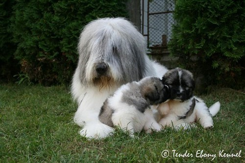 children dogs goggie ob teh week mioritic sheepdog puppies romanian mioritic - 6619262208