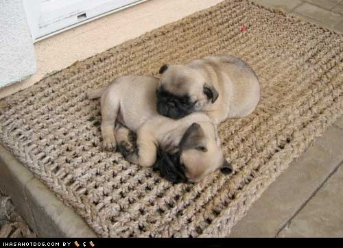 cuddles cyoot puppy ob teh day dogs nap pug rug - 6619285248