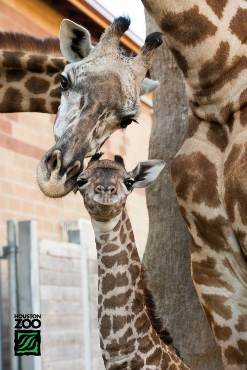 baby giraffes mommy smile squee spree - 6619464448
