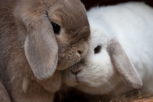 bunny cuddling happy bunday lops rabbit - 6622183424