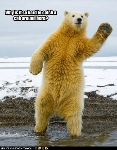 polar bear cab hard taxi hailing offended - 6623511040