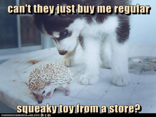 disappointed husky schewing hedgehog squeaky toy regular - 6624443392