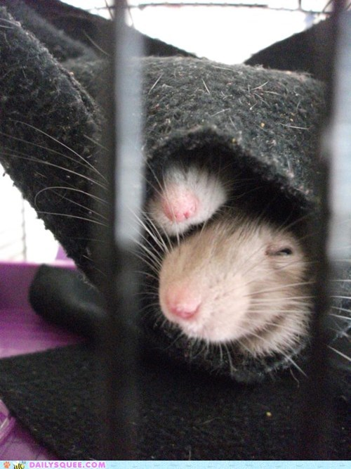 hammock pet rat reader squee snuggle - 6625502208