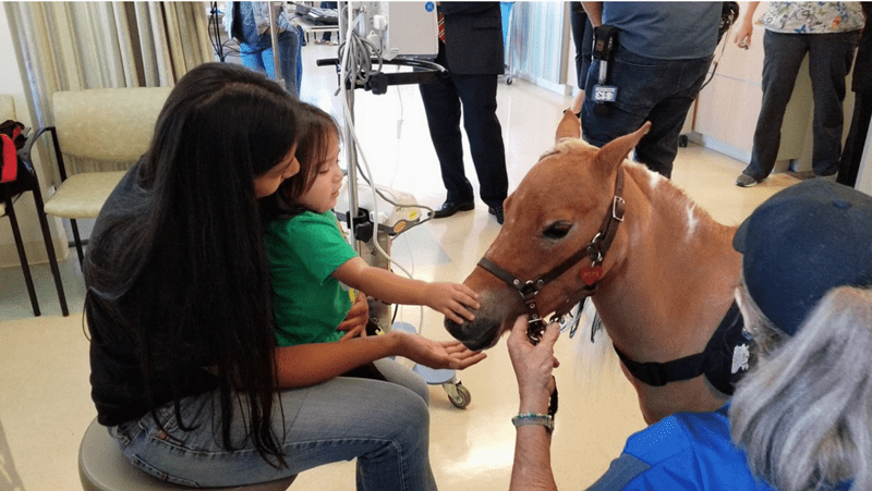 Mini horse therapy animal visits kids in the hospital