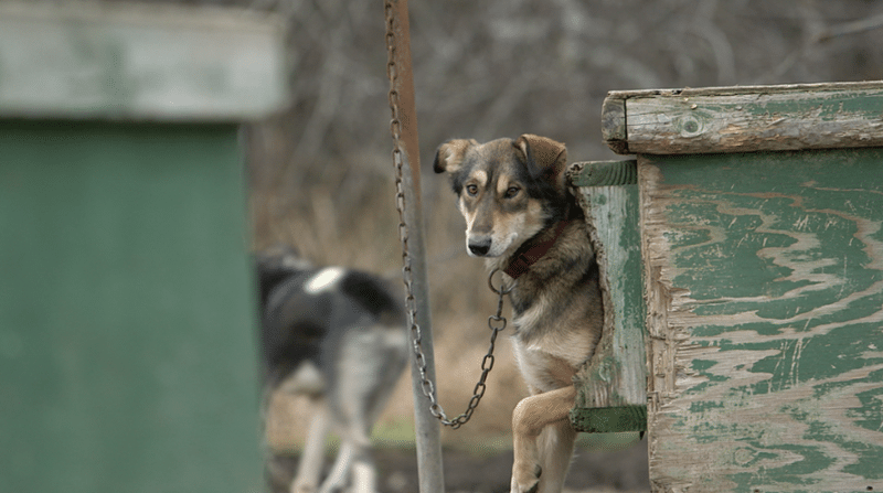 suffering Canada dogs sled dog activism film - 6626821