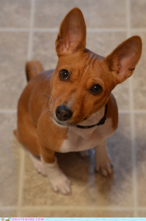 reader squee,squee,dogs,basenji,collar,naughty dog