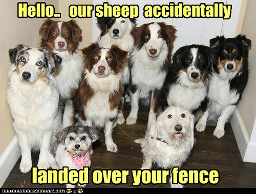 excuse dogs Sheep Dog australian shepherd sheep - 6627555840