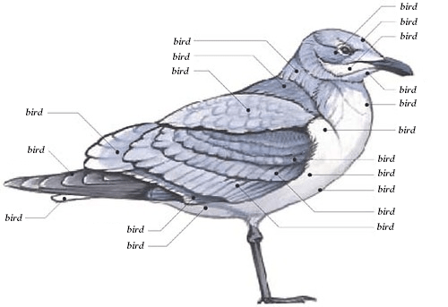 anatomy,bird,definitive,dumb