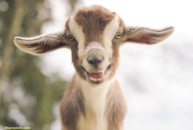 goats research happy emotions - 6628613