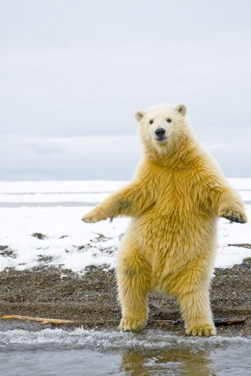 dancing,groovy,snow,bears,polar bear,squee