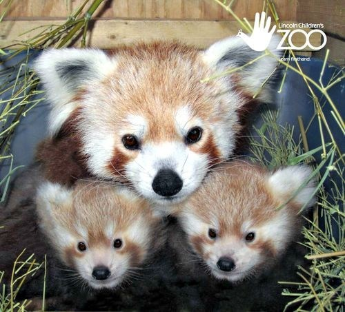 Babies mommy poll red panda results squee spree winner - 6629028864