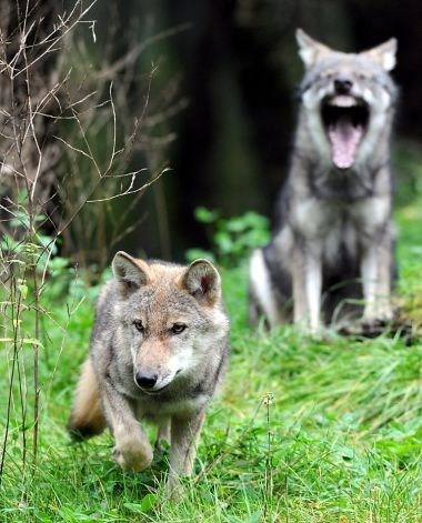 shut up wolves yawning hunting squee wolf - 6629144320