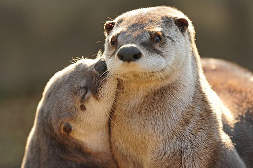 kisses,otters,love,squee