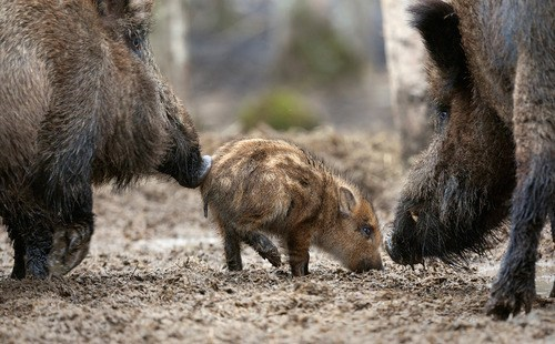 baby hairy boar mommy pig squee - 6629156352