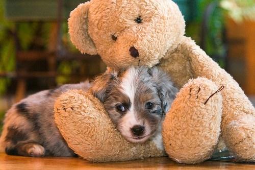 australian shepherd cyoot puppy ob teh day dogs puppy teddy bear - 6629243648