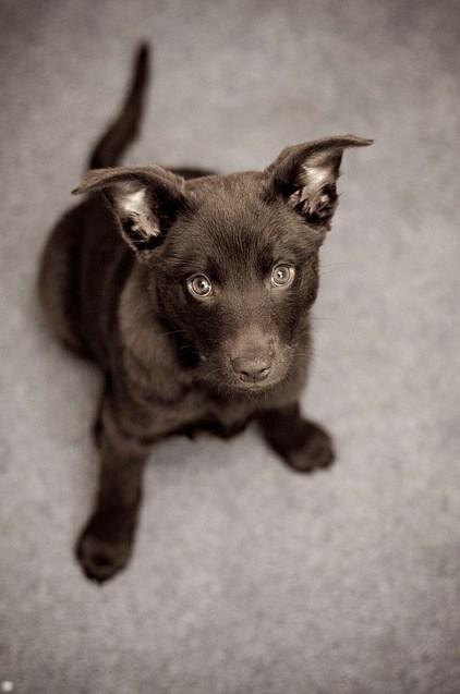 australian kelpie dingo dogs goggie ob teh week puppy - 6629249024