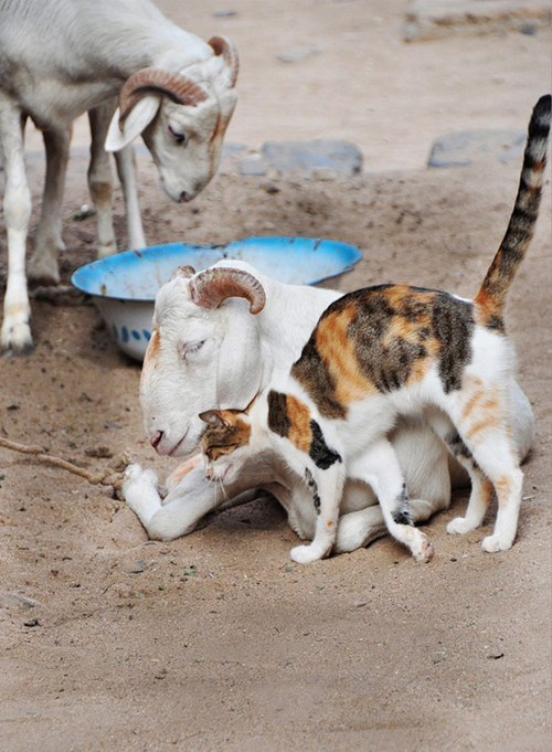 cat cuddling goat Interspecies Love senegal - 6629334016