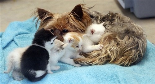 adoption,Cats,dogs,goggies r owr friends,Interspecies Love,kitten,squee,yorkies