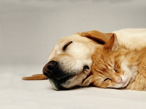 cat cuddling dogs dreaming golden retriever kittehs r owr friends sleeping - 6631812352