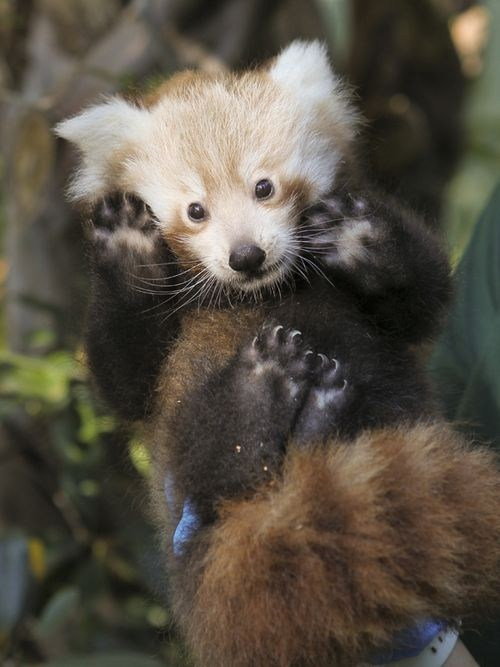 feet furry red panda squee spree toe beans