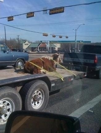 cars,delivery,cow,texas,what,best of week,Hall of Fame