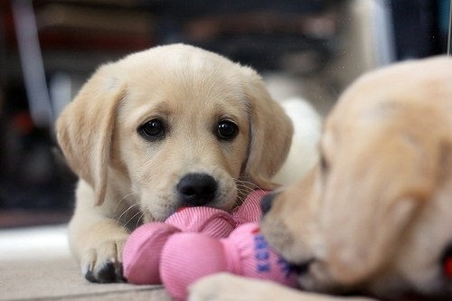 cyoot puppy ob teh day,dogs,golden retriever,puppy,toy