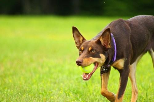 australian kelpie dogs goggie ob teh week herding dog tennis ball - 6635395072