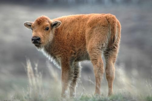 calf baby buffalo serious squee - 6636041728
