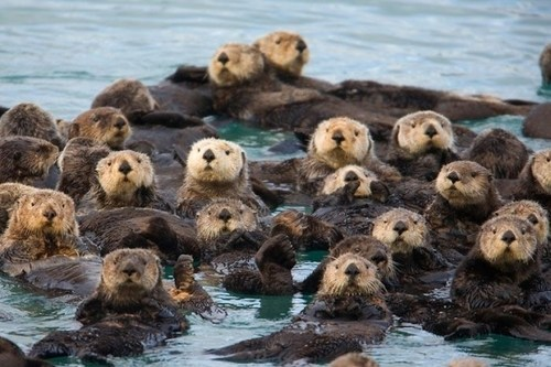 swimming otters overload squee whiskers delightful insurance