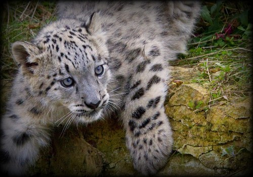paws snow leopard baby cub Fluffy cute squee - 6636058880