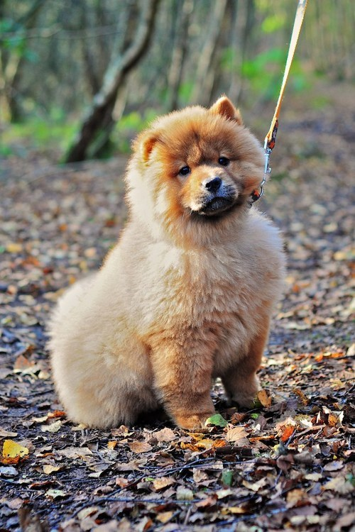 chow chow cyoot puppy ob teh day dogs Fluffy puppy - 6636211968