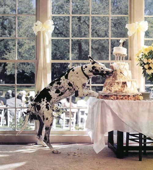dogs,bad,wedding cake,eat,bad dog,categoryimage