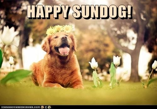 dogs flowers garden golden retriever happy sundog Sundog