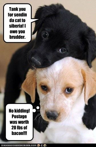 labrador siberia puppy - 6636692480