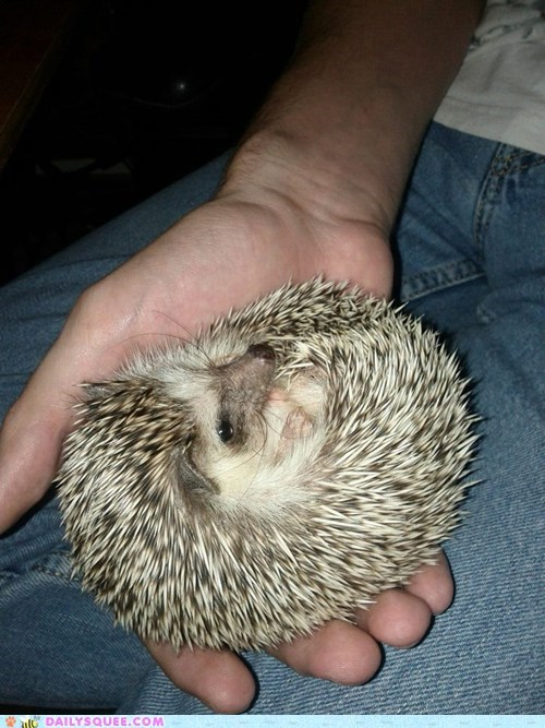 reader squee squee pet hedgehog rolly polly - 6637311232