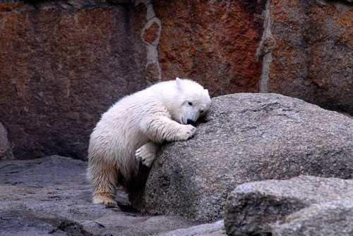 Pillow nap bears polar bear rock squee sleepy