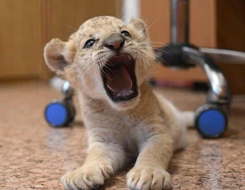lions Babies hungry fussy lion cub squee - 6639623680