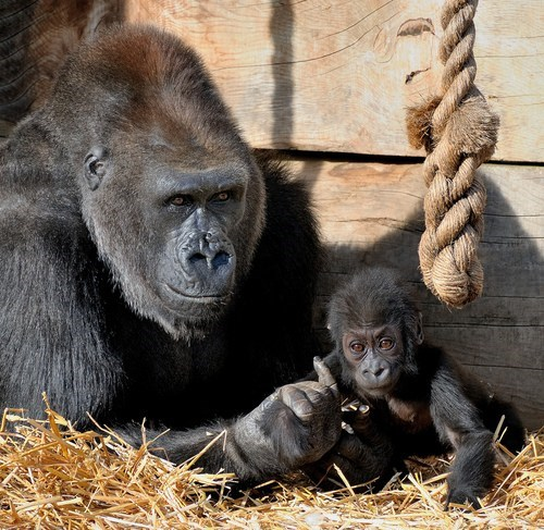 baby mama gorillas squee spree squee - 6639626240