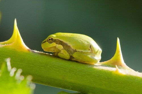 green camouflage tree frog squee thorn frog - 6639638016
