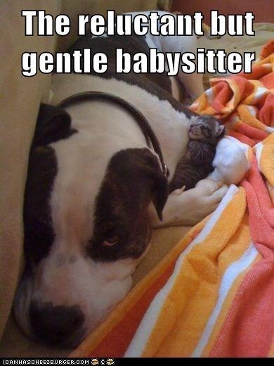 dogs babysitter Gentle Giant kitten pitbull cuddles - 6639809024