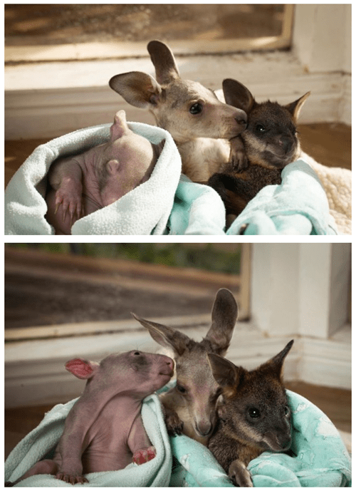early bird special Joey marsupials orphaned animals wallaby Wombat squee categoryimage categoryvoting-page