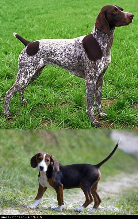 dogs face off german shorthaired pointer goggie ob teh week poll serbian hound versus